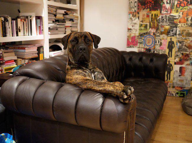 собаки и кожанные диваны